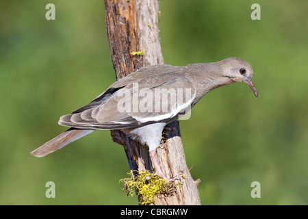 White-winged Dove Zenaida asiatica Amado, Santa Cruz County, Arizona, United States 3 June Immature Columbidae - Stock Photo