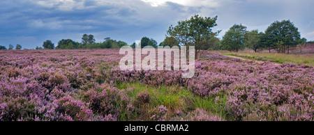 Heather flowering in purple heathland at the Hoge Kempen National Park, Belgium - Stock Photo