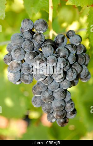 Grape from Girlan near Bozen in South Tyrol. - Stock Photo