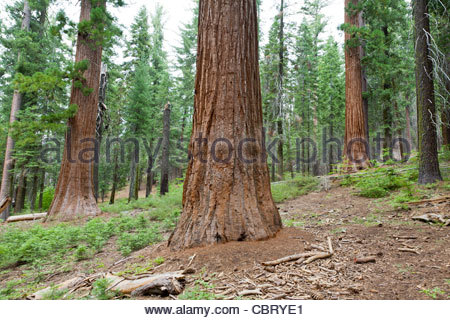 View of Giant Sequoia forest, Mariposa Grove, Yosemite National Park, California, United States - Stock Photo