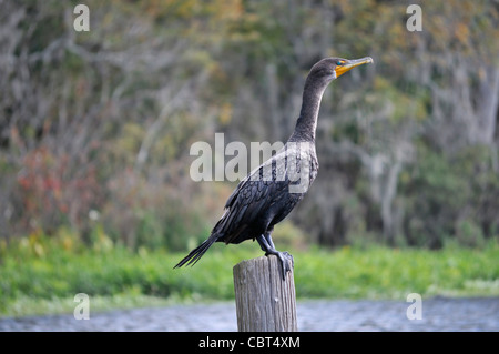 Double-crested cormorant (Phalacrocorax auritus) roosting on a dock post in central Florida - Stock Photo