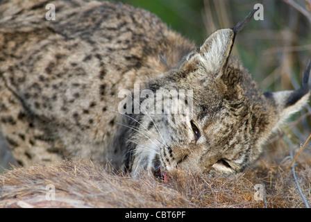 Rare wild Iberian Lynx feeding on the carcass of red deer - Stock Photo