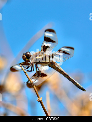 Twelve-spotted Skimmer dragonfly, Libellula pulchella, perched on a branch. Oklahoma, USA. - Stock Photo