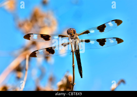 Twelve-spotted Skimmer dragonfly, Libellula pulchella. Oklahoma, USA. - Stock Photo