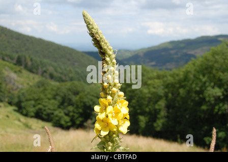 Common mullen or mullein flowering on a meadow in the Ardeche mountains in the Parc naturel regional des monts d'Ardeche - Stock Photo