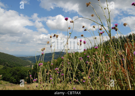 Clover im blossom and other wild flowers on a meadow of the Ardeche mountains in the Parc naturel regional des Monts - Stock Photo