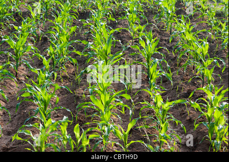 Young Corn / Maize plants in an Indian field. Andhra Pradesh, India - Stock Photo