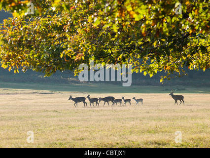 A small herd of red and fallow deer during rutting season, Richmond Park, Surrey, UK - Stock Photo