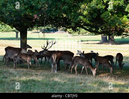 A herd of red deer in Richmond Park, Surrey, UK - Stock Photo