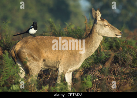 Red deer hind with a magpie on its rump. Richmond Park, London, UK October 2007 - Stock Photo