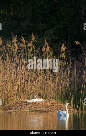 Mute swan (Cygnus olor) couple on nest in reed bed, Germany - Stock Photo
