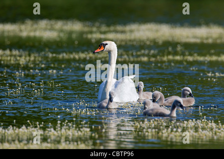Mute swan (Cygnus olor) swimming on lake with cygnets, Germany - Stock Photo