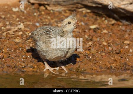 Gambel's Quail Callipepla gambelii Amado, Santa Cruz County, Arizona, United States 3 June Immature Phasianidae - Stock Photo