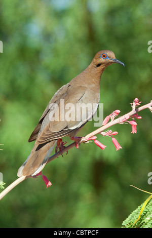 White-winged Dove Zenaida asiatica Amado, Santa Cruz County, Arizona, United States 3 June Adult with unique darker - Stock Photo