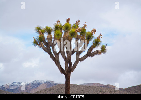 Joshua Tree stands against the clouds and the desert landscape in Joshua Tree National Park, California. - Stock Photo