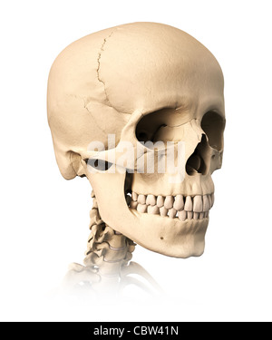 Very detailed and scientifically correct human skull, on white background. Anatomy image. - Stock Photo