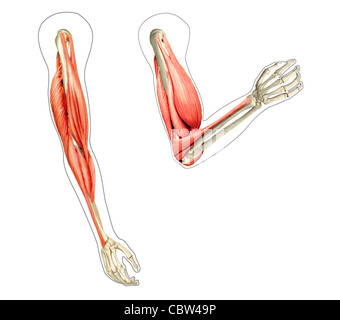 Human arms anatomy diagram, showing bones and muscles while flexing. 2 D digital illustration, On white background. - Stock Photo