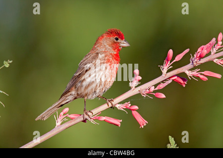 House Finch Carpodacus mexicanus Amado, Santa Cruz County, Arizona, United States 3 June  Adult Male - Stock Photo