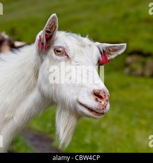 Goat, Vatnedalen, Norway - Stock Photo