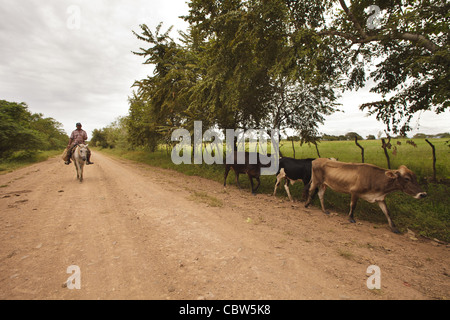 Man on horse driving cattle along the road near Macanas marshes in Herrera province, Republic of Panama. December - Stock Photo
