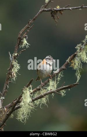 Rufous-collared Sparrow Zonotrichia capensis Costa Rica - Stock Photo