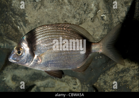 Two-banded sea bream Diplodus vulgaris, Sparidae, Mediterranean Sea - Stock Photo