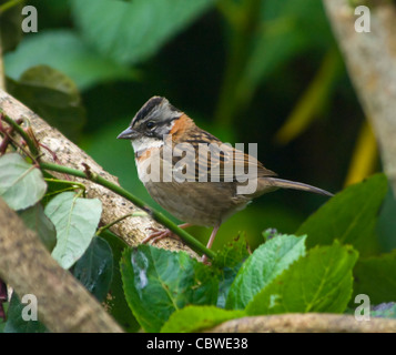 Rufous-collared Sparrow Zonotrichia capensis Costa Rica - Stock Photo