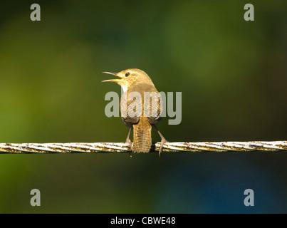 House Wren (Troglodytes aedon), Costa Rica - Stock Photo