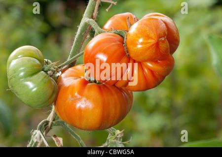 Heirloom Tomato (Solanum lycopersicum), variety: Fireworks. Ripe and unripe fruit on a plant. - Stock Photo