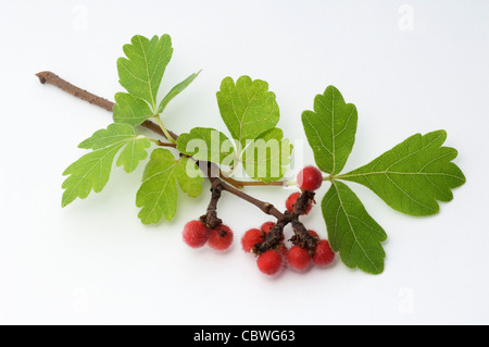 Fragrant Sumac (Rhus aromatica). Twig with fruit. Studio picture against a white background - Stock Photo