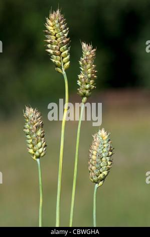 Common Wheat, Bread Wheat (Triticum aestivum), unripe ears. - Stock Photo