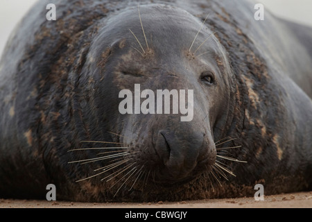 Atlantic Grey Seal, Halichoerus grypus Donna Nook Nature Reserve, Lincolnshire, England, UK - Stock Photo