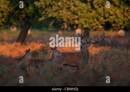 Red deer (Cervus elaphus) stag with hinds during the rut at dawn in richmond park - Stock Photo
