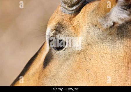 Head of black-faced impala (Aepyceros melampus petersi) in Etosha National Park, Namibia. - Stock Photo