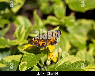 Pearl Crescent (Phyciodes tharos) - Stock Photo