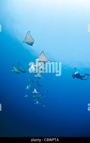 Schooling spotted eagle rays, Aetobatus narinari, Seychelles - Stock Photo