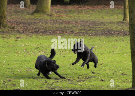 Two black dogs playing - Stock Photo