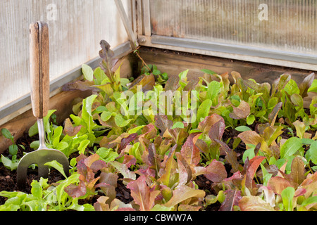 a dense crop of green and red baby lettuce in a corner of greenhouse - Stock Photo