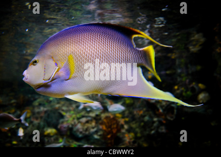 WASHINGTON DC, USA - A purple spotted reef fish dashes past in a tank in the National Aquarium in Washington DC. - Stock Photo