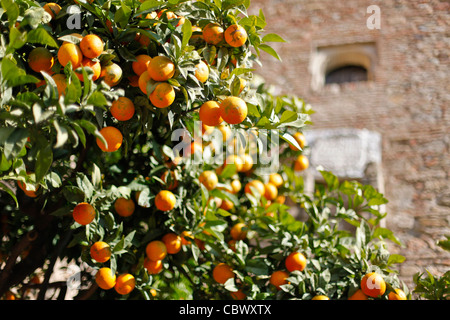 Orange trees in Alcazaba in Malaga, Spain - Stock Photo