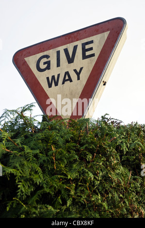 GIVE WAY road sign in leylandii hedge near Hay-on-Wye Powys Wales UK - Stock Photo