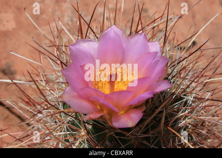 pink barrel cactus flower with yellow pollen