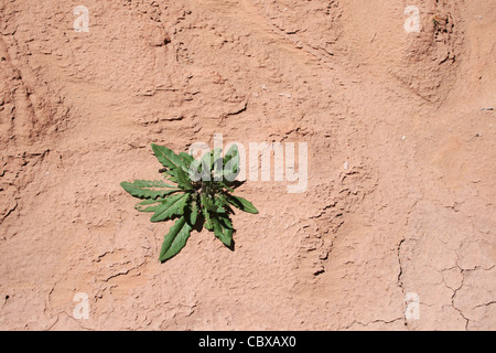 a single green plant growing on parched red soil - Stock Photo