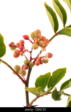Fruits of Zanthoxylum piperitum, Japanese Pepper Tree, Japan Pepper, Sanshō - Stock Photo