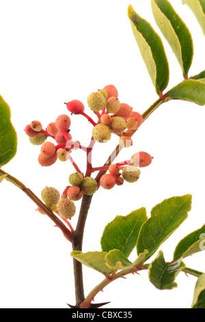 Fruits of Zanthoxylum piperitum, Japanese Pepper Tree, Japan Pepper, Sanshō - Stock Photo