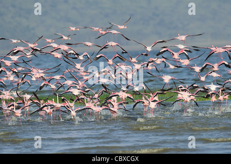 Lesser flamingo (Phoeniconaias minor - Phoenicopterus minor) flock of birds taking off from the water - Stock Photo