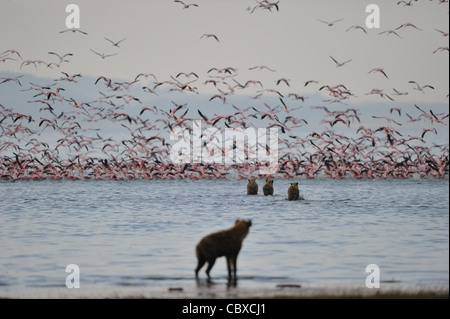 Flock of Lesser flamingos (Phoeniconaias minor) flying away when attacked by Spotted hyenas (Crocuta crocuta) - Stock Photo