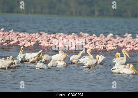 Flock of Great white pelican (Pelecanus onocrotalus) bathing near a flock of Lesser flamingo (Phoeniconaias minor) - Stock Photo