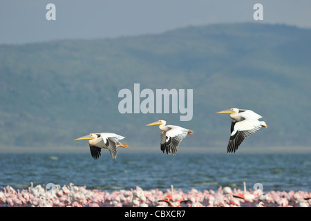 Flock of Great white pelican (Pelecanus onocrotalus) flying over a flock of Lesser flamingo (Phoeniconaias minor) - Stock Photo