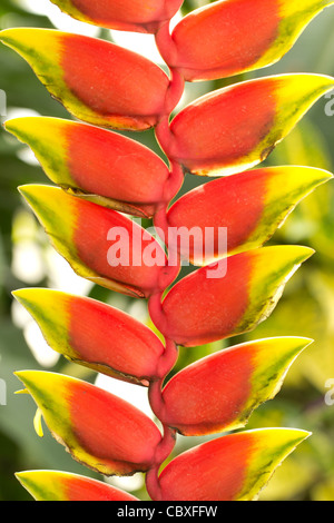 Heliconia rostrata, Lobster claw, False-bird-of-paradise - Stock Photo